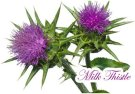Milk-Thistle Silybum marianum